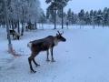 Reindeer - 2
