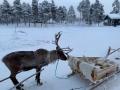 Reindeer - 20