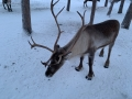 Reindeer - 4